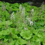 planta petasita, fotos