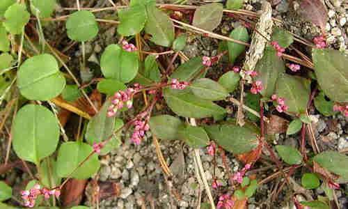 fotos plantas pimienta acuatica