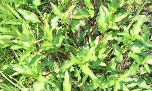 pimienta acuatica