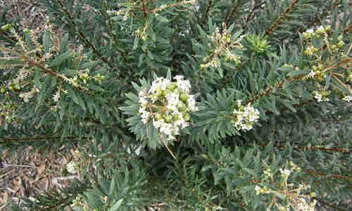 fotos plantas Torvisco