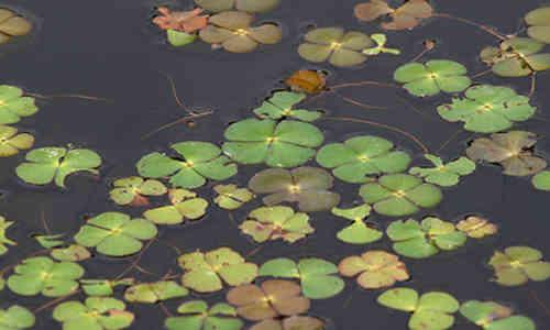 fotos planta trebol-de-agua