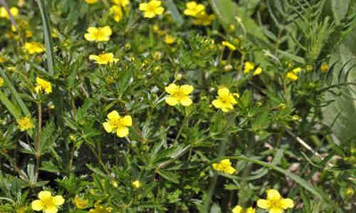 foto planta Tormentilla