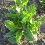 plantas medicinales acelga