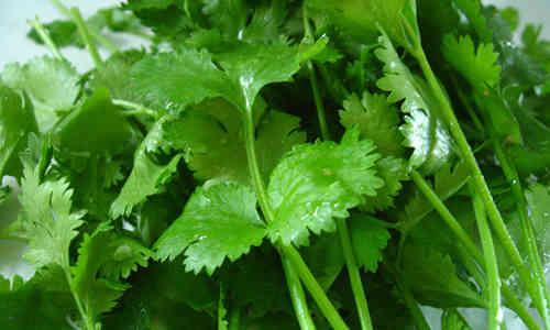 fotos de la planta cilantro