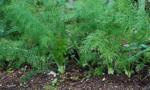 fotos planta hinojo
