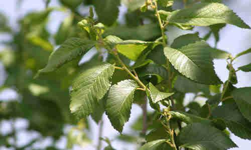 planta olmo