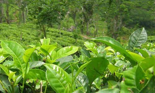 fotos de te verde