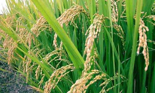 foto planta arroz