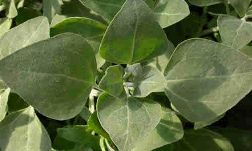 fotos plantas vulvaria