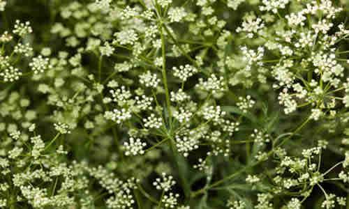 fotos planta anis verde