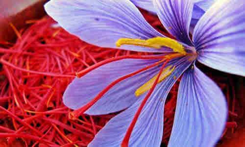 planta azafran