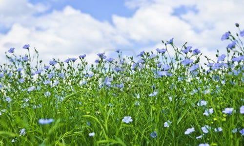 fotos planta lino