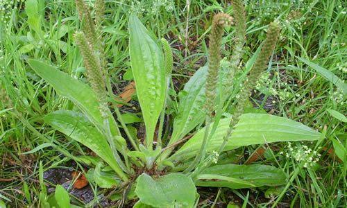 planta llanten