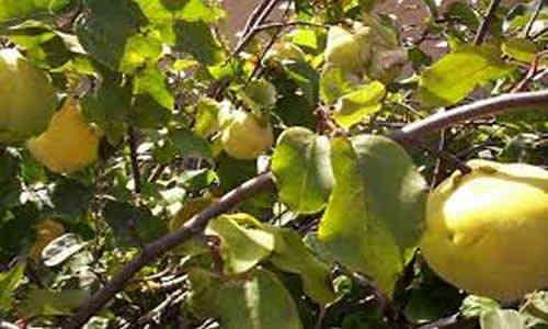foto planta medicinal membrillo