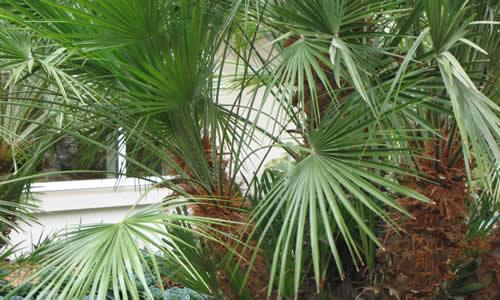 planta palmitos