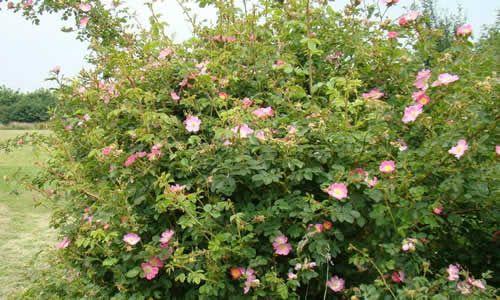 fotos planta rosa mosqueta