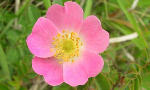 rosamosqueta
