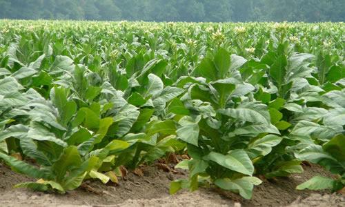 tabaco como planta curativa