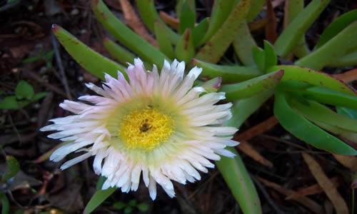planta Balsamo