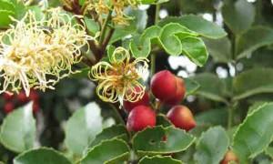 fruto de avellano