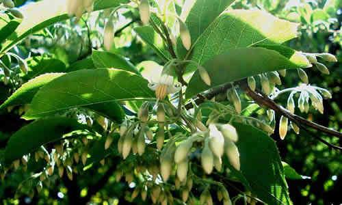 benjui planta curativa