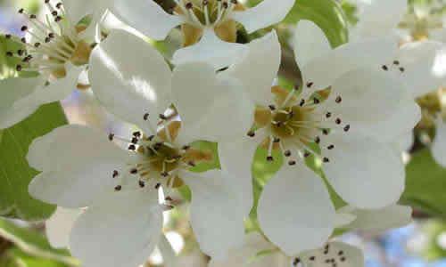 planta peral