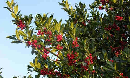 fotos planta Acebo_arbol