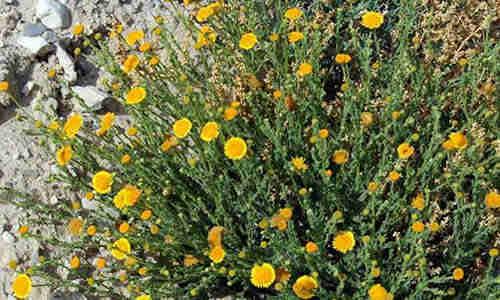 fotos planta Pulicaria