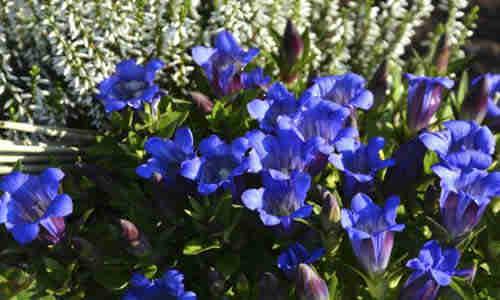 fotos planta Genciana