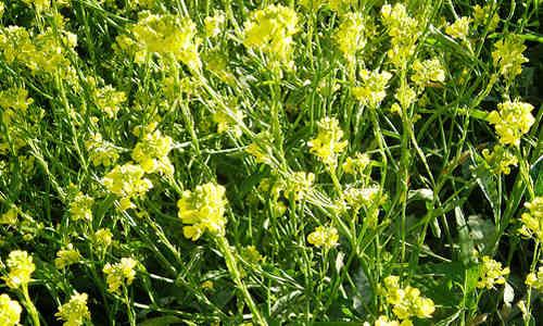 fotos planta mostaza negra