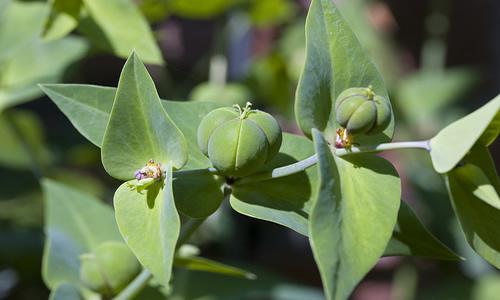 planta tartago