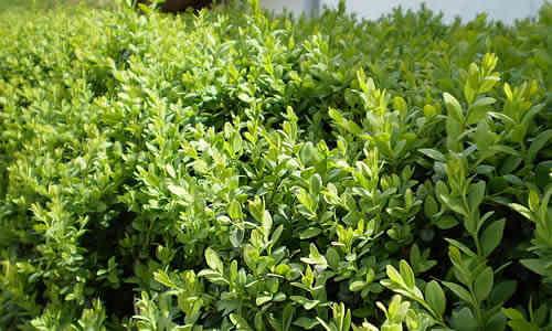 fotos de planta Boj