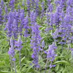 fotos planta medicinal Salvia