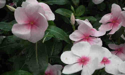 foto planta Vinca rosea