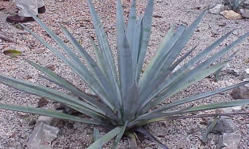 agave planta medicinal