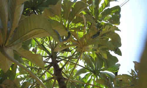 foto planta ambay