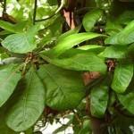 Árbol Medicinal Quina