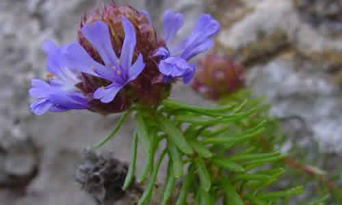 planta Coris