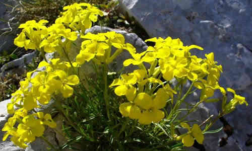 foto planta Erisimo
