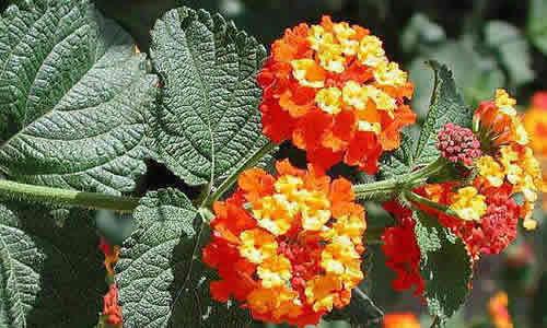 Lantana planta medicinal