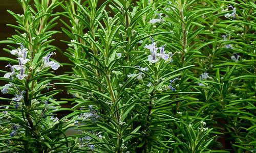 Planta romero y sus propiedades terapeuticas for Planta decorativa con propiedades medicinales