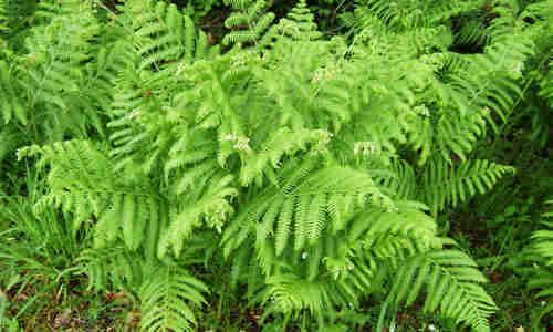 El helecho com n y sus propiedades medicinales for Planta ornamental helecho nombre cientifico