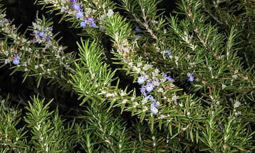 fotos planta romero