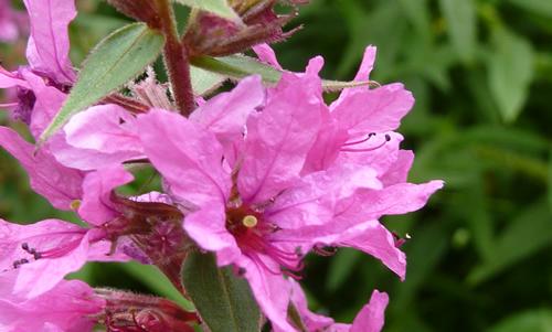 Salicaria planta