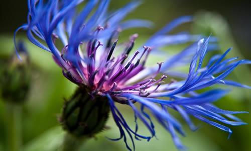 flor de la planta aciano