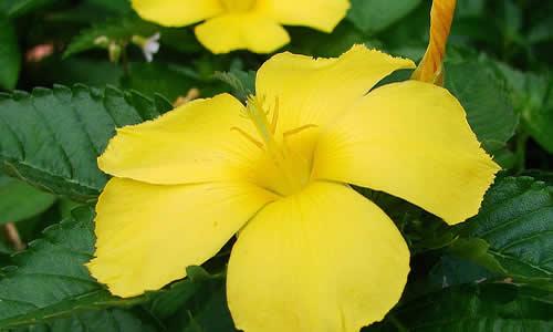 damiana planta medicinales