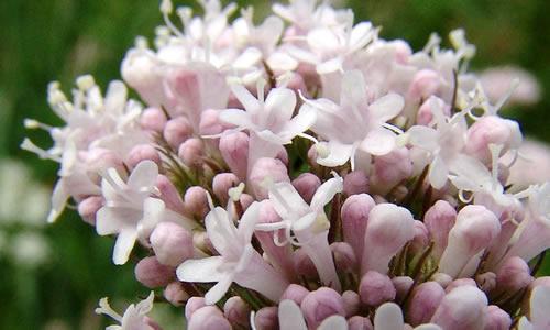 planta la-valeriana