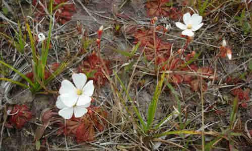planta Drosera
