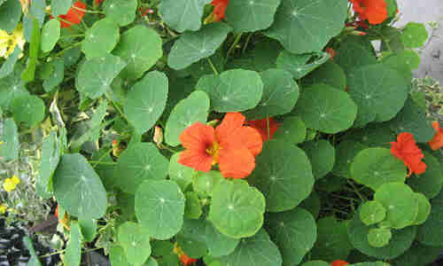 Planta Mastuerzo