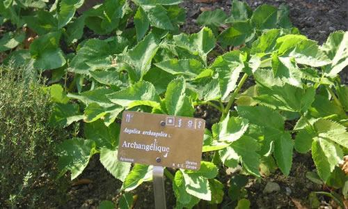 planta angelica menor